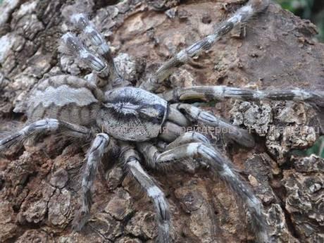 Гигантский тарантул