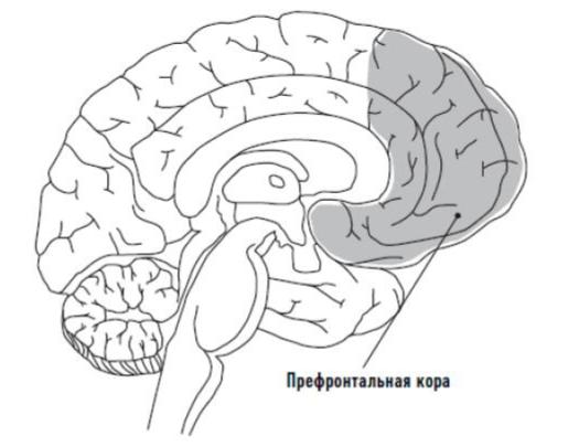 Префронтальная кора мозга. Отвечает за рациональное мышление