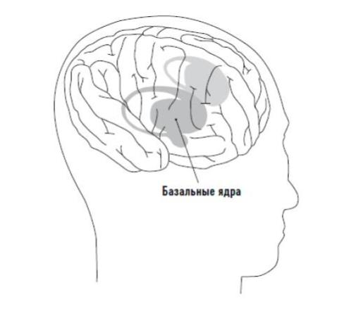 Базальные ядра мозга. Отвечает за привычки