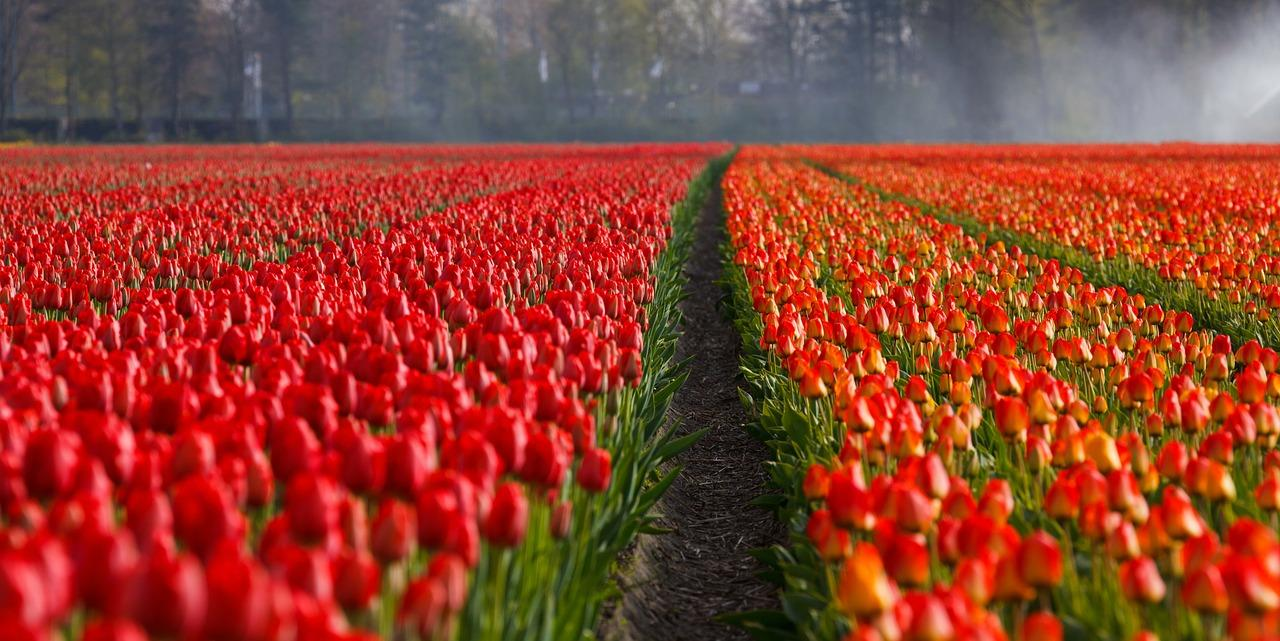 the history of tulip in europe Earn miles with our travel partners for any eligible stay at golden tulip, tulip inn and royal tulip hotels view more pay for your next hotel reservation with your american express card and receive a 15% discount a minimum stay of 2 nights is required to.