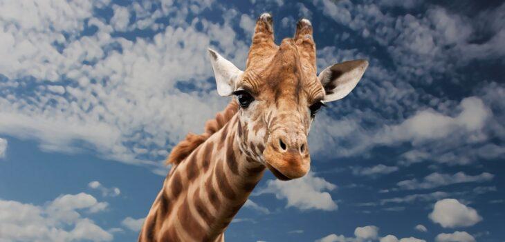 Советник Giraffe LSV по стратегии «Жираф»