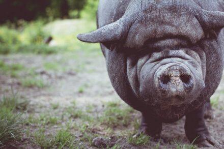 Трейдер-свинья
