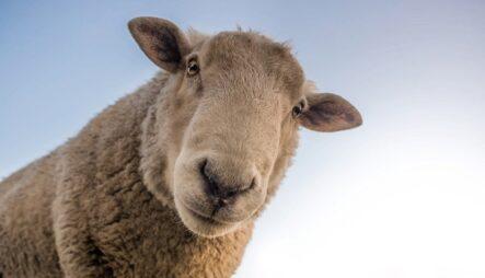 Трейдер-овца